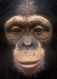 Para arriba-grano del cierre de la cara del chimpancé Fotografía de archivo libre de regalías