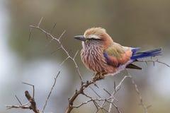 Para arriba soplado rodillo púrpura que se sienta en una rama durante mañana fría Fotos de archivo libres de regalías