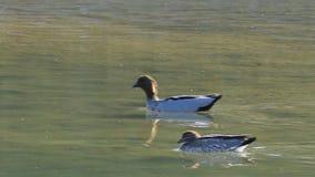 Para Australijska Drewniana kaczka, Chenonetta jubata, pływa