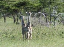 Para av behandla som ett barn giraffet som tillbaka står för att dra tillbaka arkivbilder