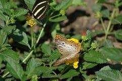 Para av fjärilar Arkivfoton