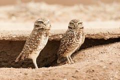Para av gräva Owls royaltyfria bilder