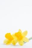 Para av nätt gula påskliljar med kopierar utrymme Fotografering för Bildbyråer