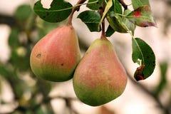 Para av Pears Arkivfoton