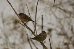 Para av sparrows Royaltyfri Foto