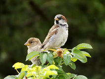 Para av sparrows Fotografering för Bildbyråer