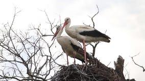 Para av storkar är på redet stock video