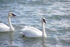 Para av swans Fotografering för Bildbyråer