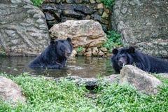 Para Azjatycki Czarny niedźwiedź W basenie, Otwarty zoo Zdjęcia Stock