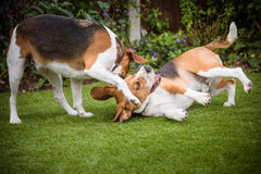 para Beagles Zdjęcie Royalty Free