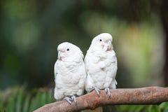 Białe papugi zdjęcia royalty free