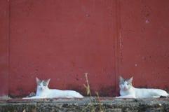 Para biały kotów odpoczywać Zdjęcie Stock