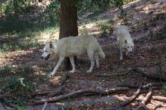 Para białych wilków Canis lupus arctos chodzi w lesie wpólnie obraz royalty free