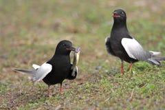 Para Białoskrzydli Czarni Tern ptaki na trawiastych bagnach podczas Fotografia Royalty Free