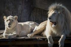 Para biały lew Obrazy Stock