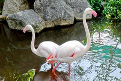 Para Biali flamingi w stawie fotografia stock