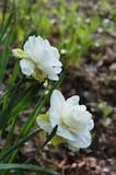 Para biali i żółci Daffodils zakrywający z raindrops Obraz Royalty Free