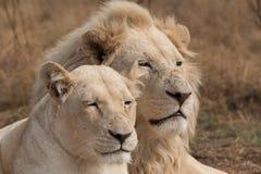 Para biali lwy Obraz Stock