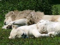Para biali lwy Obrazy Stock
