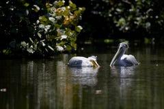 Para biali pelikany Zdjęcie Royalty Free