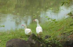 Para biel nurkuje w wiosna czasie Zdjęcie Royalty Free