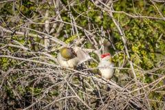 Para Browed Finches, lasy Historyczny park, Wiktoria, Australia, Czerwiec 2019 zdjęcie royalty free
