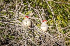 Para Browed Finches, lasy Historyczny park, Wiktoria, Australia, Czerwiec 2019 obrazy royalty free