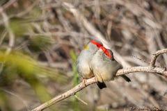 Para Browed Finches, lasy Historyczny park, Wiktoria, Australia, Czerwiec 2019 zdjęcie stock