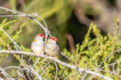 Para Browed Finches, lasy Historyczny park, Wiktoria, Australia, Czerwiec 2019 obrazy stock