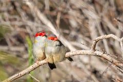 Para Browed Finches, lasy Historyczny park, Wiktoria, Australia, Czerwiec 2019 obraz royalty free