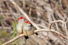 Para Browed Finches, lasy Historyczny park, Wiktoria, Australia, Czerwiec 2019 fotografia stock