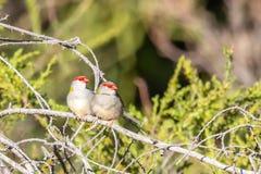 Para Browed Finches, lasy Historyczny park, Wiktoria, Australia, Czerwiec 2019 fotografia royalty free