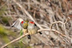 Para Browed Finches, lasy Historyczny park, Wiktoria, Australia, Czerwiec 2019 obraz stock