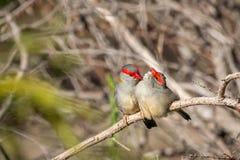 Para Browed Finches, lasy Historyczny park, Wiktoria, Australia, Czerwiec 2019 zdjęcia royalty free