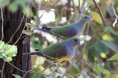 Para Bruce ` s zieleni Treron gołębi waalia w drzewie Fotografia Stock