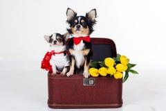 Para chihuahua psy z kolorów żółtych kwiatami i czerwonym sercem Zdjęcie Stock