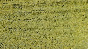 Para cima e para baixo a paisagem de girassóis amarelos Paisagem rural maravilhosa do campo do girassol no dia ensolarado Opinião fotos de stock