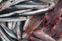 Para comer sano: anchoas del mar Mediterráneo Fotos de archivo