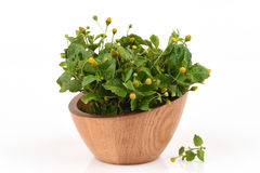 Para cress, Toothache Plant, Toothache plant, Brazil cress Toothache plant, Pellitory, Spot flower. Stock Photography
