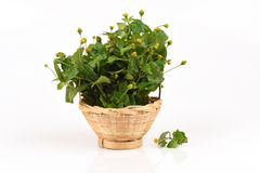 Para cress, Toothache Plant, Toothache plant, Brazil cress Toothache plant, Pellitory, Spot flower. Royalty Free Stock Photo