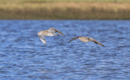 Para Curlew Obrazy Royalty Free