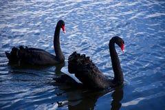 Para czarni łabędź unosi się na wody powierzchni Obraz Stock