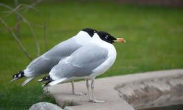 Para czerni głowy seagulls Obraz Royalty Free
