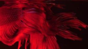 Para czerwona siamese bój ryba - betta splendens Akwarium rybi dopłynięcie przed odosobnionym czarnym tłem zbiory wideo
