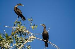 Para czubaci kormorany Umieszczający Wysoko w drzewie Zdjęcia Royalty Free