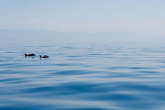 Para delfiny w błękitnym spokojnym morzu blisko wysp w Chorwacja Zdjęcie Royalty Free