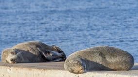 Para denni lwy lazily odpoczywa na skałach, Kingscote, kangur wyspa, Południowy Australia obrazy stock