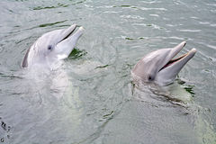 Para dolpins Fotografia Stock