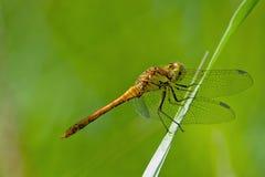 Para dragonflies fotografia stock