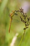 Para dragonflies zdjęcia royalty free